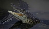 Florida&#39;s Shoot-To-Kill Order On Crocodile