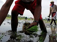 File photo of farmers planting rice in Cavite, south of the Philippine capital Manila. The Philippines, one of the world&#39;s biggest importers of rice, could go a long way to achieving its elusive goal of self-sufficiency simply by wasting less, a global research institute said