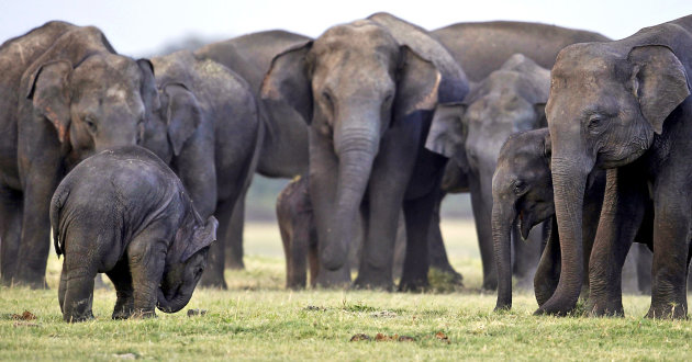 FILE - In this Aug. 12, 2011 file photo, a herd of Asiatic wild elephants gather at a national park in Minneriya, some 200 kilometers (125 miles) from Colombo, Sri Lanka. The first national survey of Sri Lanka&#39;s wild elephants shows that the Indian Ocean island has a population of more than 5,800 _ slightly higher than previous official estimates, officials said Friday Aug. 2, 2011. (AP Photo/Chamila Karunarathne, File)