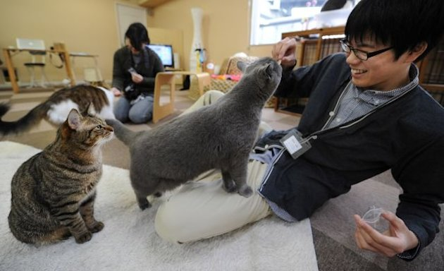 Japanese youths feed cats at a 'cat cafe' in Tokyo on February 23, 2012