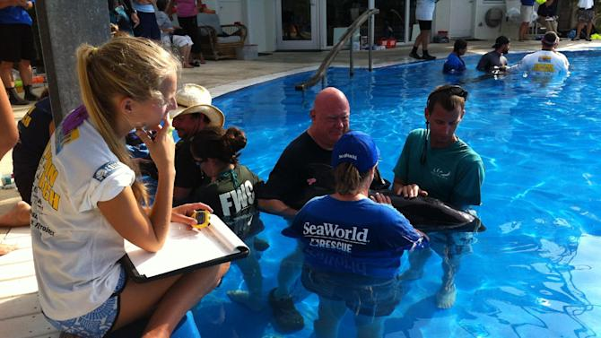 In this photo provided by SeaWorld Parks & Entertainment, people attend to one of five rescued pilot whales Sunday, Sept. 2, 2012, at Florida Atlantic University's Harbor Branch Institute in Fort Pierce, Fla. The five whales were among a group of 22 whales beached in South Florida on Saturday. The rest died of natural causes or had to be euthanized. (AP Photo/SeaWorld Parks & Entertainment)