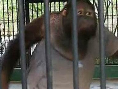 Orangutan Steals Shirt Off Tourist's Back