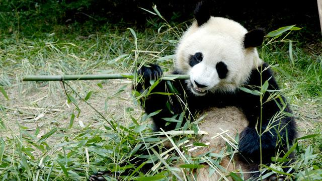The World's Most Expensive Tea: Made From Panda Poo!?