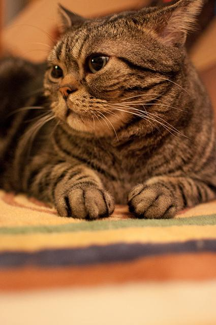 2. United States Team: American Shorthair