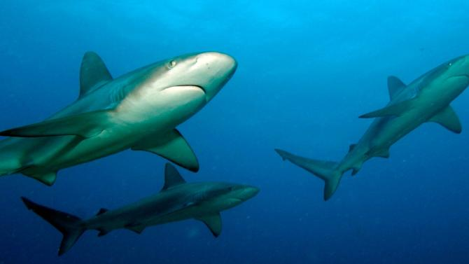 """""""Tiburones: Sharks of Cuba"""" marks the first time that TV cameras have recorded American and Cuban scientists working side by side to explore the mysteries of shark behavior, habitats and migration"""