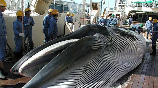 This handout picture from Japan's Institute of Cetacean Research (ICR) in 2013 shows a Bryde's whale on the deck of a ship during Japan's whale research programme in the western North Pacific