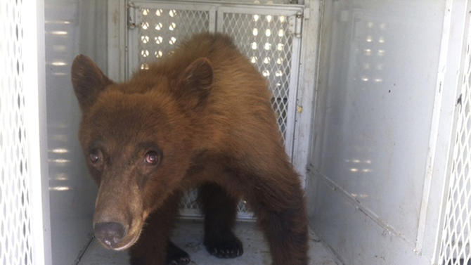 In this photo provided by Kern County Animal Control, a black bear that wandered onto school property during a Bakersfield school graduation is shown before being released in Kern County, Calif., Thursday, May 31, 2012. Kern County Animal Control officers say the young black bear approached the grounds of Ramon Garza Elementary School on Thursday, forcing students who were outside to return to their classrooms, and surprising students and parents attending a graduation ceremony at adjacent Sierra Middle School. (AP Photo/Kern County Animal Control, Kim Rodriguez)