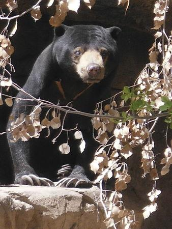 Oldest known Malayan bear in U.S. captivity euthanized in Arizona