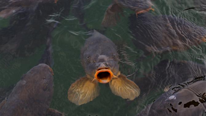 Freshwater carp come to the surface looking for food in the shallow waters of Lake Mead in Nevada