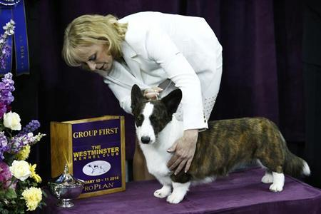 Coco Posh, a Cardigan Welsh Corgi, poses with its handler for a picture after winning the herding group during day one of judging of the 2014 Westminster Kennel Club Dog Show in New York, February 10, 2014. REUTERS/Eduardo Munoz