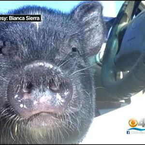 Owner Searching For Stolen Pet Pig