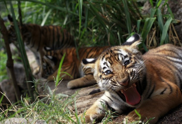 Two- months old Bengal tiger cub Tily reacts in its enclosure at the animal refuge La Fundacion Refugio Salvaje (Furesa) in La Libertad on the outskirts of San Salvador