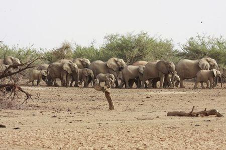 Poaching threatens Mali's rare desert elephants -UN mission