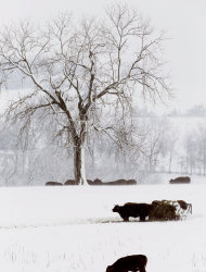 <p>               Cattle feed in a snow covered pasture near Lecompton, Kan., Tuesday, Feb. 26, 2013. For the second time in a week, a major winter storm paralyzed parts of the nation's midsection Tuesday, dumping a fresh layer of heavy, wet snow atop cities still choked with piles from the previous system and making travel perilous from the Oklahoma panhandle to the Great Lakes. The weight of the snow strained power lines and cut electricity to more than 100,000 homes and businesses. At least three deaths were blamed on the blizzard. (AP Photo/Orlin Wagner)