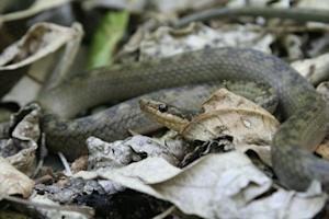 Endangered Snake Declared World's Rarest