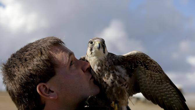In this Oct. 28, 2013 photo, Daniel Hedin, 28, kisses Mia, a 5-year-old Harris hawk at the Olinda Alpha landfill in Brea, Calif. Hedin, is a subcontractor for Airstrike Bird Control, a falcon-based bird abatement company. The landfill in Brea hired the falconer to fly his birds of prey to scare away the seagulls. (AP Photo/Chris Carlson)