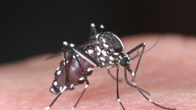 This undated photo released by National Institute of Infectious Diseases via Kyodo News, shows a tiger mosquito. Japanese health authorities have reported the first locally transmitted case of dengue fever in the country in more than 60 years. The ministry said Wednesday, Aug. 27, 2014 the case occurred in Saitama, a prefecture adjacent to Tokyo. Local media reports said the patient was a teen-aged girl who has since recovered. (AP Photo/National Institute of Infectious Diseases via Kyodo News) JAPAN OUT