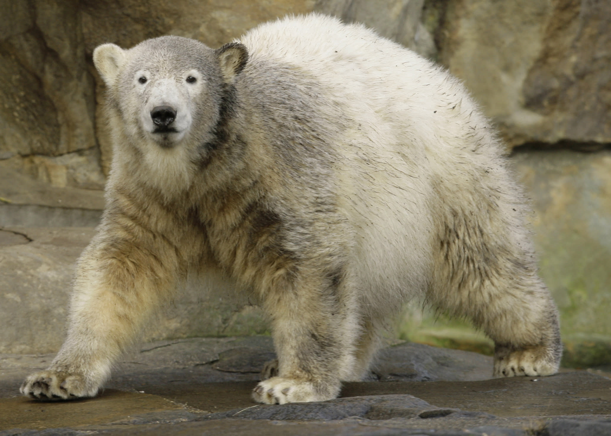 What killed Knut? Riddle of polar bear's death solved