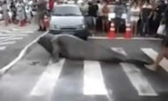 Elephant Seal Stops Traffic In Brazil City