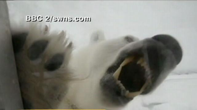 Too Close for Comfort: Nose-to-Nose with Polar Bears