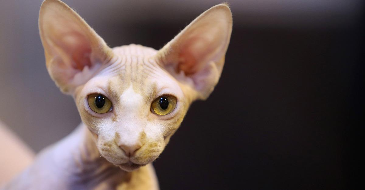 15 of the Most Bizarre Cat Breeds