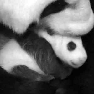 Giant panda cub is growing up, needs a name