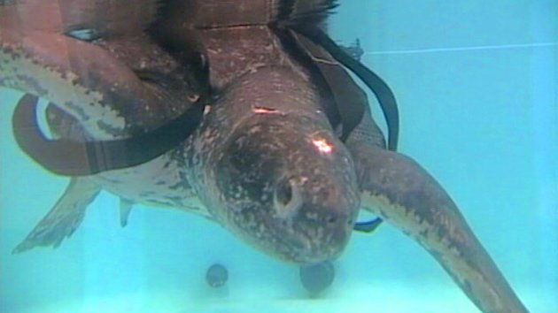 Rescued 655-Pound Sea Turtle Released (ABC News)