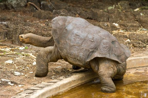 Galapagos Tortoise 'Lonesome George' May Have Company