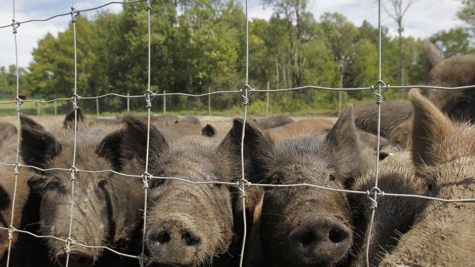 In this Aug. 24, 2011 photo, feral hogs stand in a holding pen at Easton View Outfitters in Valley Falls, N.Y. Wildlife officials in New York are devising a strategy to stop wild hogs from proliferating to the point where they're impossible to eradicate, as they've become in southern states where roaming droves have devastated crops and wildlife habitat with their rooting, wallowing and voracious foraging. (AP Photo/Mike Groll)