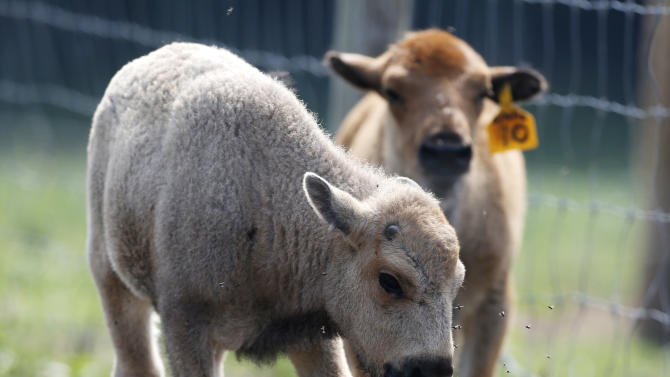 A white bison calf walks in a field with another bison calf at the Mohawk Bison farm in Goshen, Conn., on Wednesday, July 18, 2012. Hundreds of people, including tribal elders from South Dakota, are expected to attend naming ceremonies later this month at the Goshen farm where the animal was born on June 16.  (AP Photo/Mike Groll)