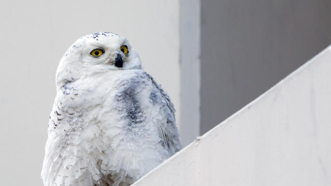 FILE - In this Jan. 24, 2014 photo, a snowy owl rests on a ledge of a building in Washington. The National Zoo in Washington says that a snowy owl was apparently hit by a bus and is being treated at the Zoo. Zoo spokeswoman Annalisa Meyer says the owl was brought to the zoo shortly after 2 a.m. Thursday, Jan. 30, 2014. A veterinarian was called in to treat the owl for an apparent head injury. It will then be transferred to a city rehabilitation facility. Snowy owls aren't usually seen in the region, but have been moving far south of their Arctic habitats searching for food due to a population spike. It's uncertain if this is the injured owl. (AP Photo/Manuel Balce Ceneta)