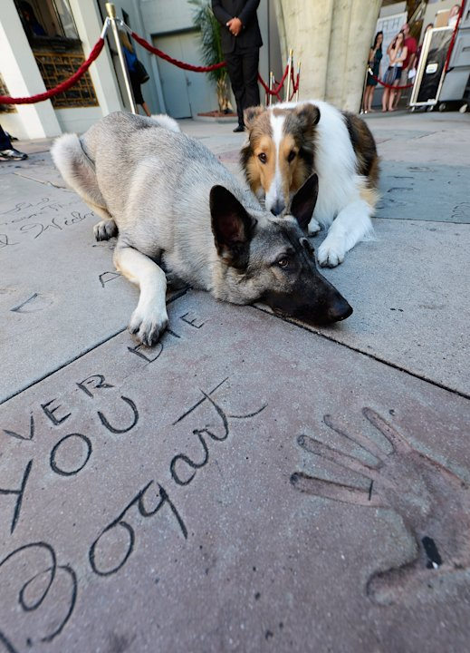 Uggie Immortalized With Hand And Footprint Ceremony