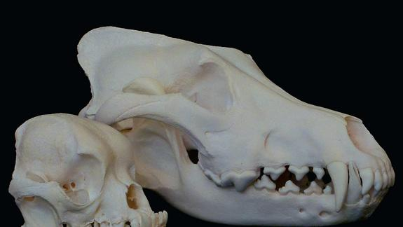 The Genes Behind Fido's Facial Features