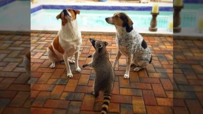 Orphaned Raccoon Befriends Two Dogs... And Thinks She's One of Them