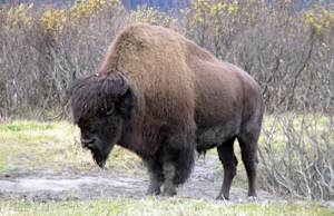 Bison Could be Reintroduced to Alaska