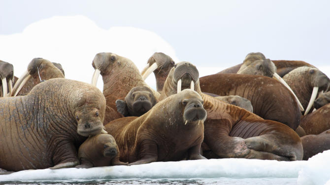 This July 17, 2012 photo released by the U.S. Geological Survey shows adult female walruses on an ice floe with their young in the U.S. waters of the Eastern Chukchi Sea in Alaska. The absence of vast swaths of summer sea ice is changing the behavior of Pacific walrus, federal scientists said Wednesday, but more research is needed to say what the final effects might be. (AP Photo/U.S. Geological Survey, S.A. Sonsthagen)