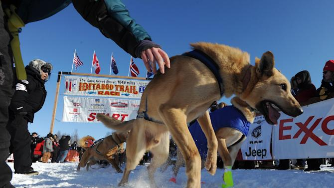 A leader in Pat Moon's dog team tugs at its harness during the official start of the Iditarod Trail Sled Dog Race in Willow, Alaska, on Sunday, March 4, 2012. (AP Photo/Anchorage Daily News, Bill Roth)