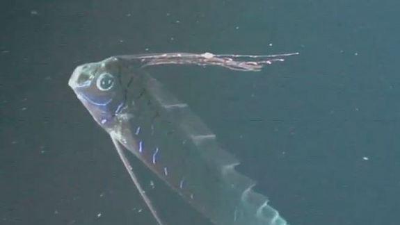 Video Reveals Bizarre Deep-Sea Oarfish