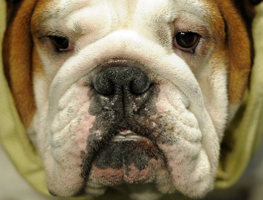 19-Jhrige in den USA beit ihre Bulldogge
