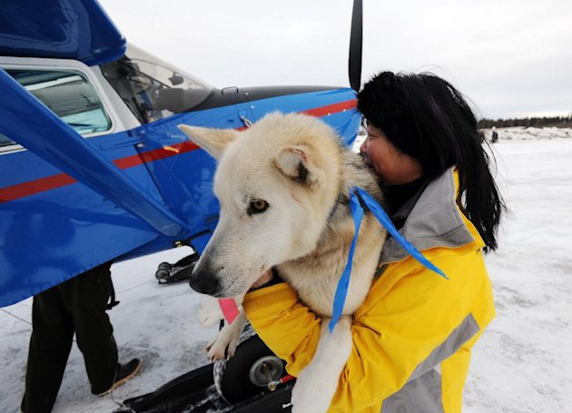 Kidron Flynn carries a dropped dog to an Iditarod Air Force plane during the Iditarod Trail Sled Dog Race, Wednesday, March 6, 2013, at Nikolai Airport in Nikolai, Alaska. (AP Photo/The Anchorage Dail