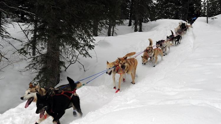 Kristy Berington's team descends a steep section of trail outside the Finger Lake checkpoint in Alaska during the Iditarod Trail Sled Dog Race on Monday, Mar. 4, 2013. (AP Photo/The Anchorage Daily News, Bill Roth)