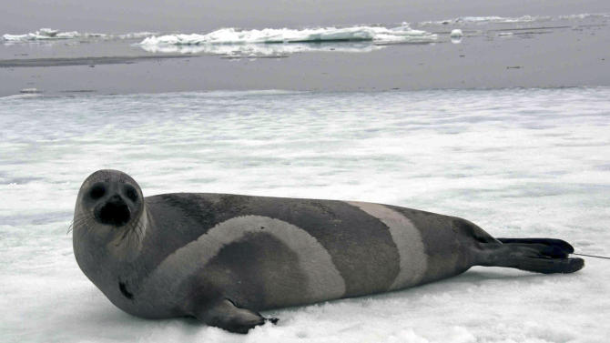A ribbon seal rests on sea ice in the Bering Sea, in this May 27, 2007 photo by John Jansen of the National Oceanic and Atmospheric Administration. The National Marine Fisheries Service has again rejected an endangered species listing for the ribbon seal, a species of ice seal found off Alaska, as it did in December 2008. The agency says in July 9, 2013 announcement that anticipated threats from reductions in sea ice and disruption to prey will result in a gradual decline in ribbon seal population numbers. However, the decline is not expected to put them in danger of extinction in the foreseeable future. (AP Photo/NOAA, John Jansen)