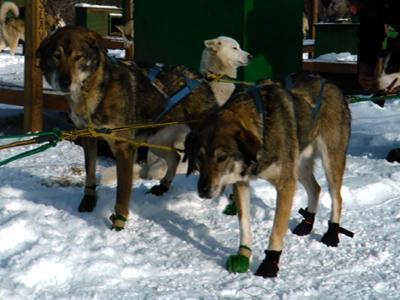 Blind Sled Dog Thrives With Brother's Help