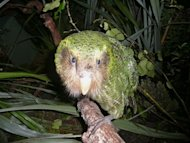 A green kakapo is shown on Codfish Island, off New Zealand's South Island, an offshore sanctuary where the flightless birds have been bred since 1990. Flightless, slow-moving and at times more sexually attracted to humans than their own species, it's small wonder New Zealand's kakapo parrot is on the verge of extinction