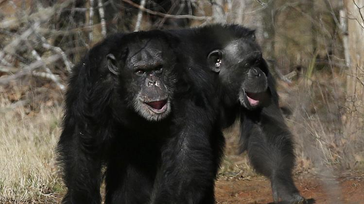 NIH to retire most chimps from medical research