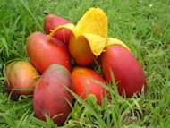 Mango – the King of Fruits!