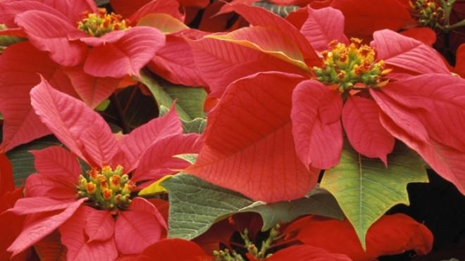 A child weighing around 50 pounds would reportedly have to consume well more than a pound of Poinsettia leaves to become ill.