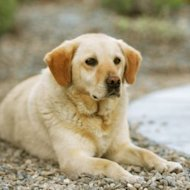 Thinkstock: Labrador retriever