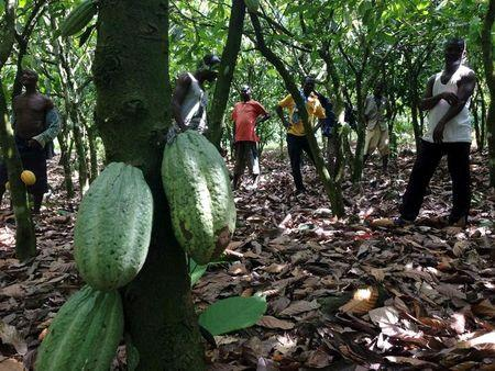 Farmers inspect cocoa trees in the fields outside the village of Ebikwawkrom