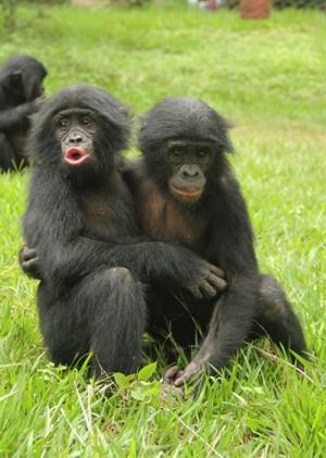 Young Apes Develop Empathy Like Human Kids